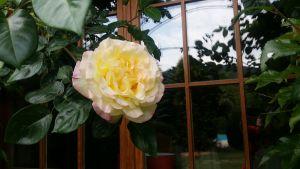 La rose de l'Ermitage du Rebberg