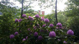 Les Rhododendrons du jardin des Calunes de l'Ermitage du Rebberg