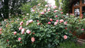Les jolis rosiers de l'Ermitage du Rebberg